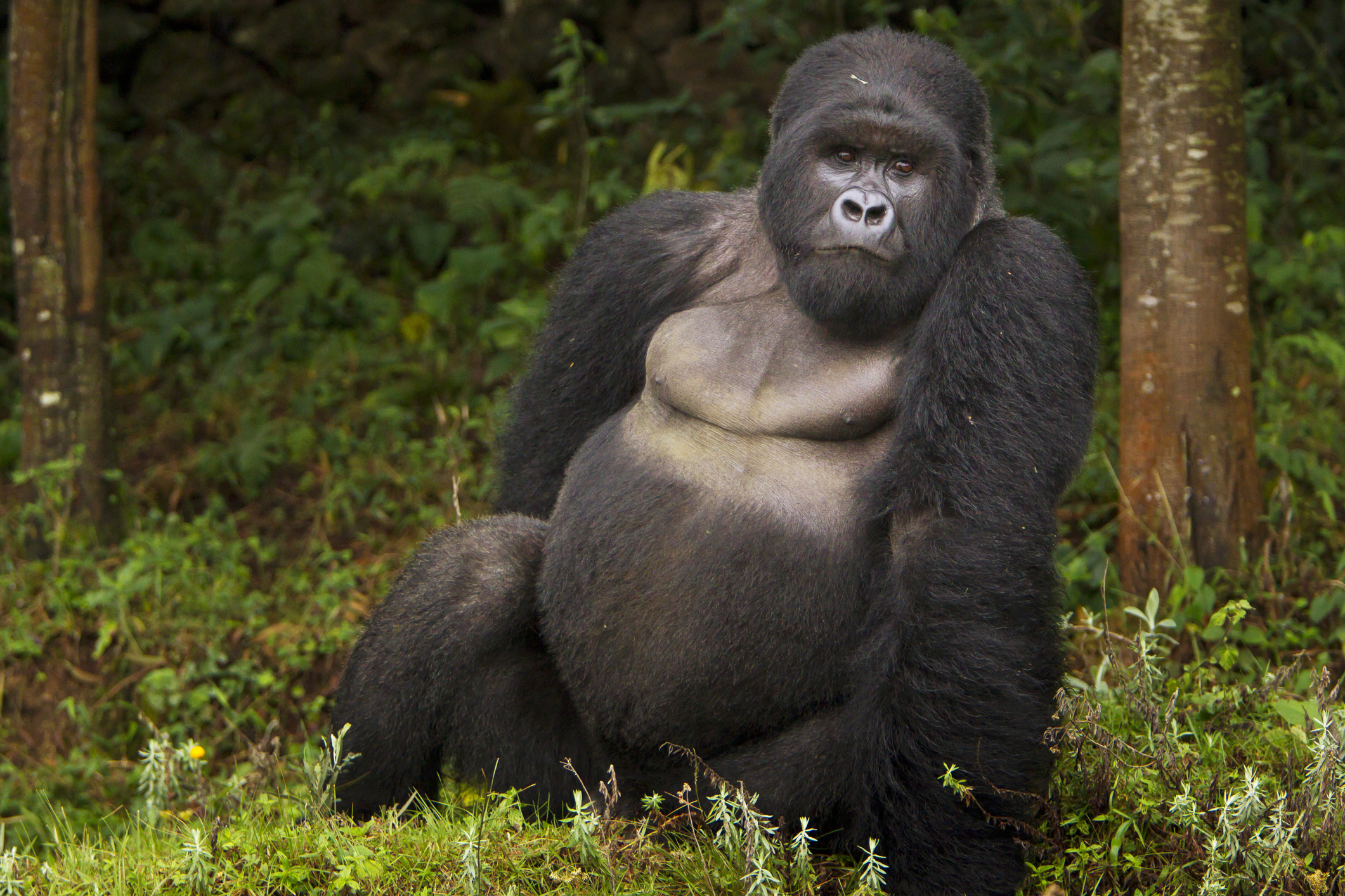 Number two Silverback Mountain Gorilla (Gorilla gorilla beringei) of Kwitonda Group, Akarevuro, Virunga Mountains, Rwanda