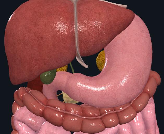upper-abdomen-front-nolabels