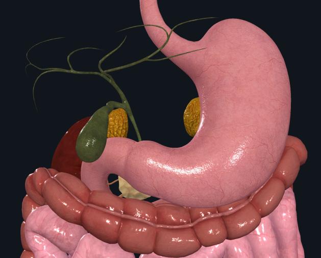 upper-abdomen-front-noLiver-nolabels